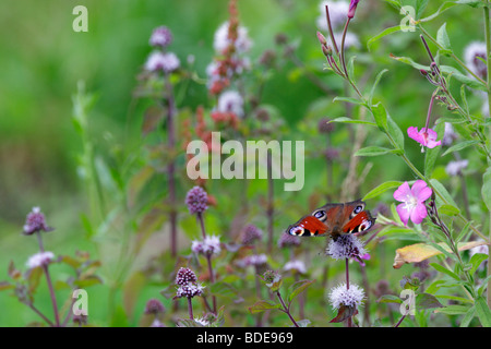 Peacock butterfly Inachis io on flowers - Stock Photo