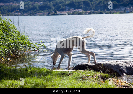 A pure-bred Saluki dog with his feet in the water. Is he going to drink? - Stock Photo