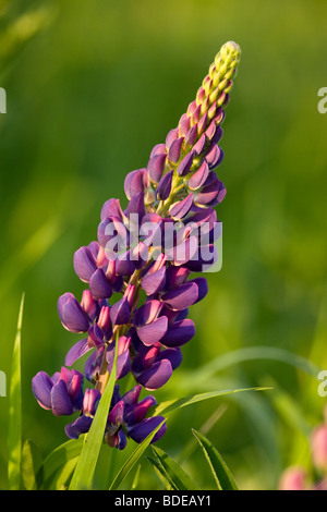 Lupinus polyphyllus (Large-leaved Lupine, Big-leaved Lupine, or, primarily in cultivation, Garden Lupin) is a species - Stock Photo