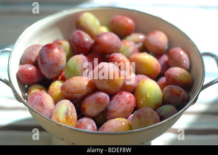 Victoria plums freshly harvested - Stock Photo
