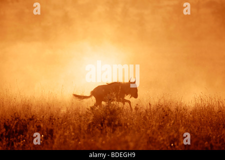 Wildebeest at sunset on the Serengeti plains during the annual migration towards the Masai Mara - Stock Photo