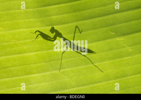 Shadow of Praying Mantis on Banana leaf - Stock Photo