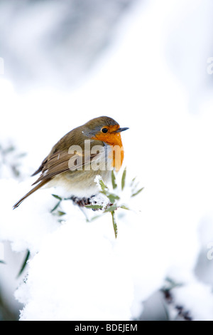 Robin perched on small branch after heavy snowfall, London, England, UK, Europe - Stock Photo