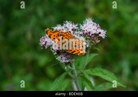 Comma butterfly, Polygonia c-album, West Sussex, England, UK - Stock Photo
