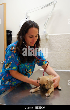 Female vet examines a puppy in her clinic - Stock Photo