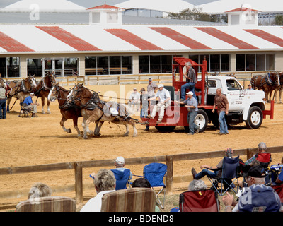 horse pull competition Tampa Florida USA - Stock Photo
