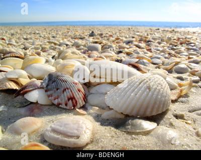 Seashells sea shells on a beach on Sanibel or Captiva Island in Florida in the USA - Stock Photo