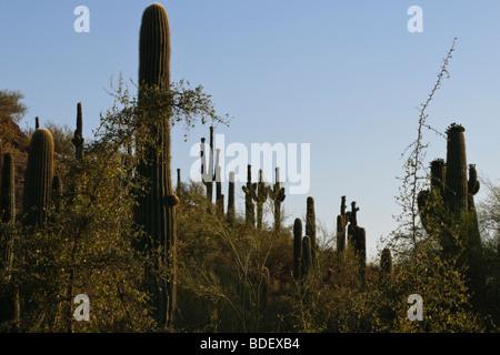 Budding saguaro cacti on a desert hill - Stock Photo