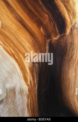 Detail of wood grain from a living Great Basin bristlecone pine tree (approximately 4,000 years old). - Stock Photo
