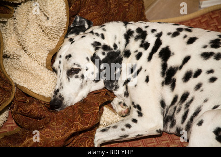 Dalmatian dog asleep  napping on cushion in home.  top view above MR - Stock Photo