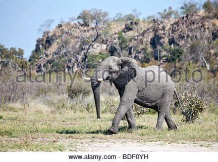 Male African Elephant walking in front of a kopje in the Savute/Savuti area of Chobe National Park in northern Botswana - Stock Photo