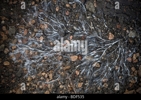 Mycelium of mushroom. Mycorrhizal association, the fungus colonizes the host plant's root tissues. Mycorrhiza is a symbiotic association. Mycorhize.