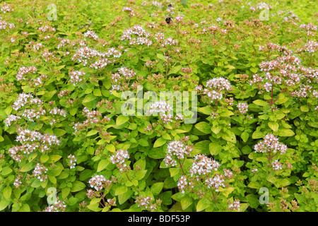 Oregano Marjoram blooming Origanum vulgare - Stock Photo
