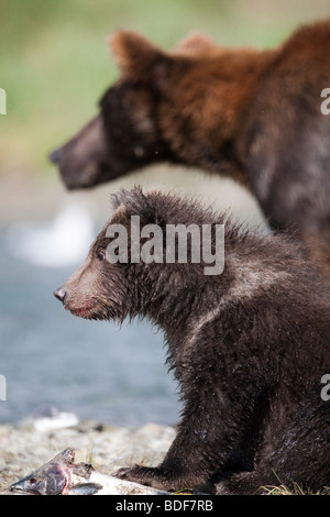 Grizzly bear & cub posing next to the remains of a pink salmon in Katmai National Park Alaska - Stock Photo