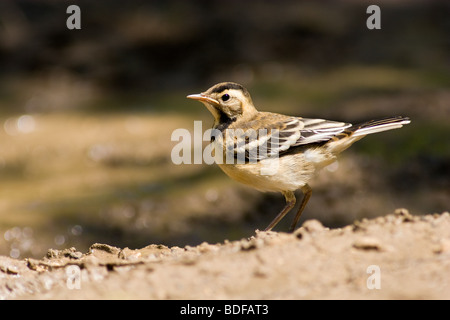 The Motacilla citreola, Citrine Wagtail, is a small passerine in the wagtail family Motacillidae - Stock Photo