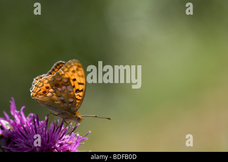 Niobe Fritillary Argynnis niobe - Stock Photo