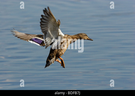 The female of a wild duck carries out landing. - Stock Photo