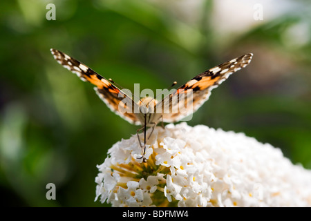 Pianted Lady butterfly sucking nectar from flower close-up, frontal view - Stock Photo
