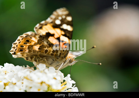Pianted Lady butterfly sucking nectar from flower close-up - Stock Photo