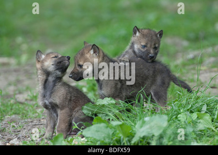 Wolves (Canis lupus), playing young, Tierpark Sababurg, Hofgeismar, North Hesse, Germany, Europe - Stock Photo