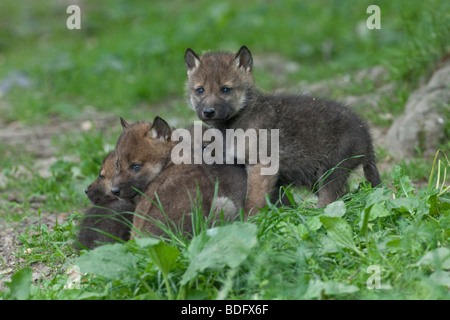 Wolves (Canis lupus), playing cubs, Tierpark Sababurg, Hofgeismar, North Hesse, Germany, Europe - Stock Photo
