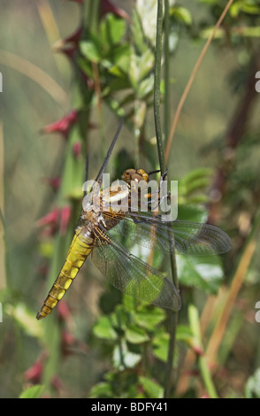 Immature Broad-Bodied Chaser Dragonfly Libellula depressa - Stock Photo
