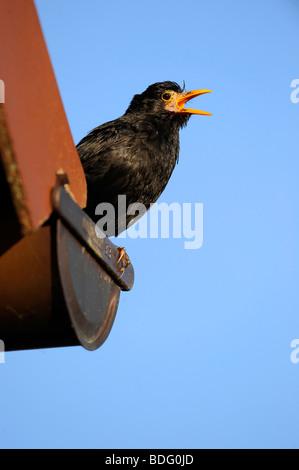 Singing Blackbird (Turdus merula), male, on gutter - Stock Photo
