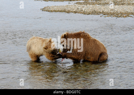 Brown bear or grizzly bear, Ursus arctos horribilis, sow sharing salmon with cub. - Stock Photo