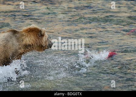 Brown bear or grizzly bear, Ursus arctos horribilis, hunting salmon Stock Photo