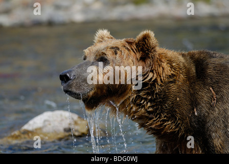 Brown bear or grizzly bear, Ursus arctos horribilis, after looking in water for salmon. Second in sequence with - Stock Photo