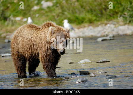 Brown bear or grizzly bear, Ursus arctos horribilis, Katmai National Park, Alaska - Stock Photo