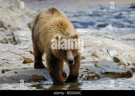 Brown bear or grizzly bear, Ursus arctos horribilis - Stock Photo