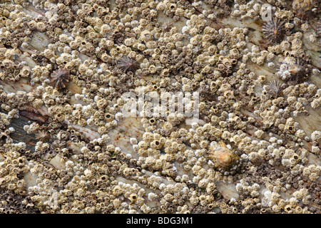 Barnacles and limpets on rock - Stock Photo