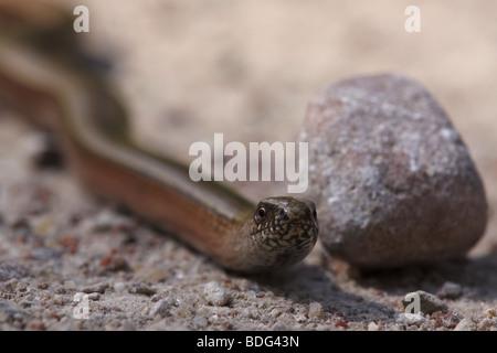 Slow worm - Stock Photo