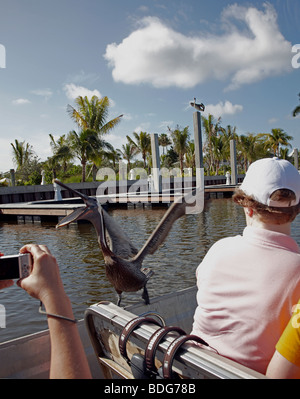 pelican tries to get food off a tourist on an airboat ride in the Everglades Florida - Stock Photo
