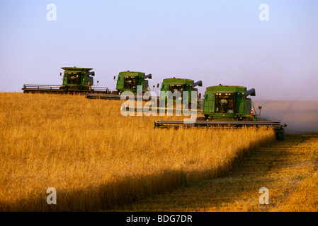 Agriculture - Four John Deere combines harvest wheat in tandem in late afternoon light / South Dakota, USA. - Stock Photo
