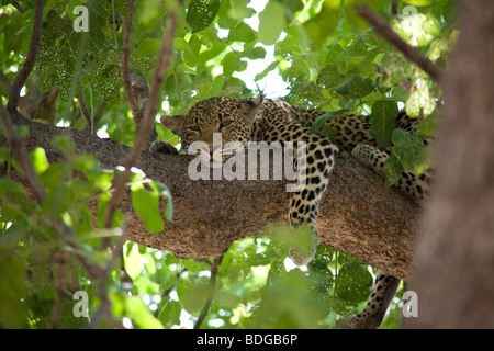 Leopard resting in a tree South Luangwa National Park - Stock Photo