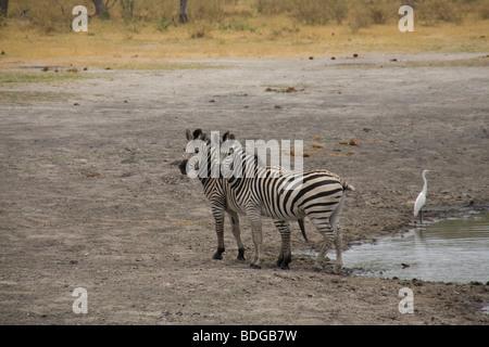 Two Common Zebras at the Linyanti River Lagoon Camp in Okavango Delta Kwanda Botswana - Stock Photo