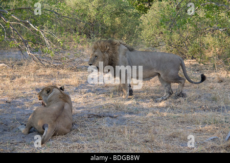 Male Lion standing lioness resting in the shade in the Botswana Okavango Delta Kwando - Linyanti River Reserve - Stock Photo