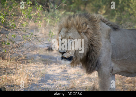 Male Lion standing in the Botswana Okavango Delta Kwando - Linyanti River Reserve - Stock Photo