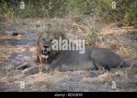 Male Lion resting in the Botswana Okavango Delta Kwando - Linyanti River Reserve - Stock Photo