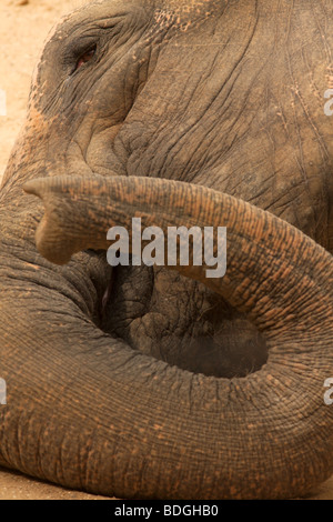 a close-up of an indian elephant's trunk and eye - Stock Photo