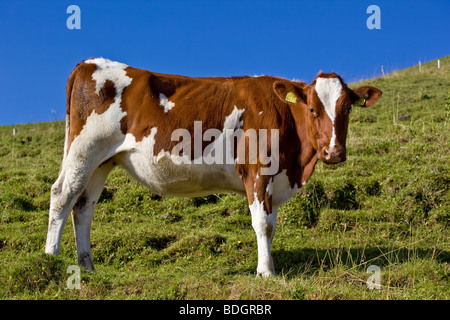Appenzell brown and white cow standing in an alpine pasture, Switzerland - Stock Photo
