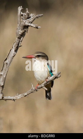 Brown-hooded Kingfisher on perch, Kruger Park. - Stock Photo