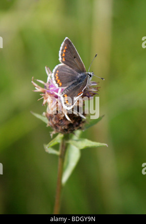 Brown Argus Butterfly, Aricia agestis, Lycaenidae - Stock Photo