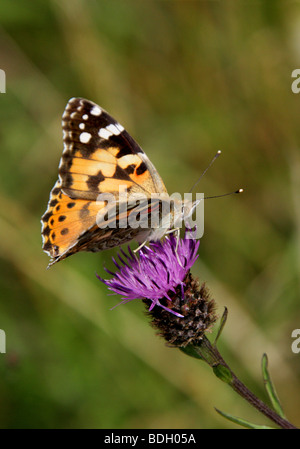Painted Lady Butterfly, Vanessa cardui, Nymphalidae - Stock Photo