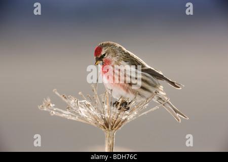 Common Redpoll, Seward, Alaska. (Carduelis flammea) - Stock Photo