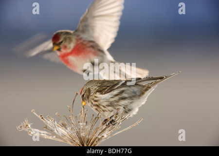 Common Redpoll, Seward, Alaska. (Carduelis flammea) - Stock Photo