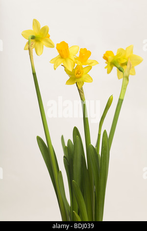 Daffodil Narcissus tete a tete specimen with three flower heads on a single stem against white background as cutout - Stock Photo