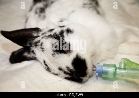 Pet Rabbit Under General Anaesthetic - Stock Photo